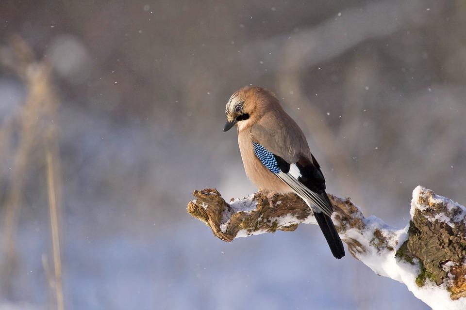 jay-in-winter